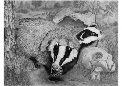 Forriging Badgers