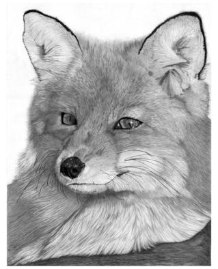 Resting Red Fox